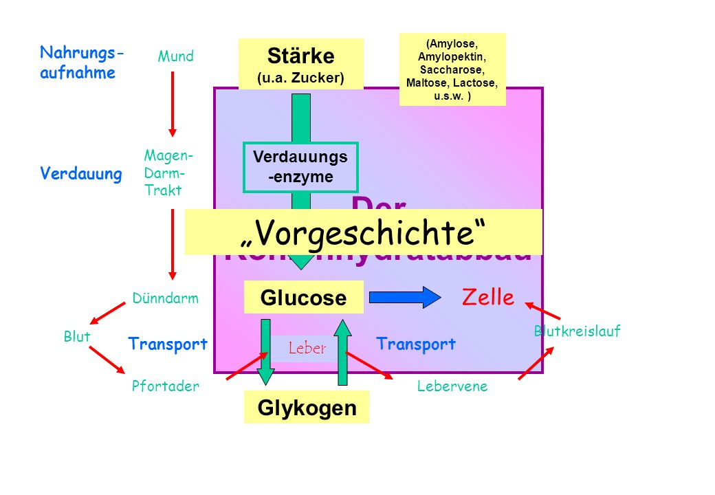 Der Kohlenhydratabbau Stärke (u.a. Zucker) Verdauungs -enzyme Glucose Nahrungs- aufnahme (Amylose, Amylopektin, Saccharose, Maltose, Lactose, u.s.w. )