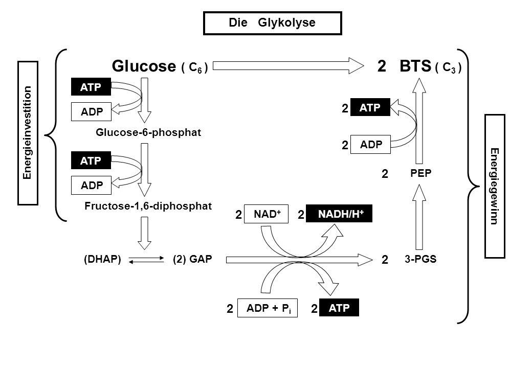 Die Glykolyse Glucose Glucose-6-phosphat Fructose-1,6-diphosphat (DHAP) GAP3-PGS PEP BTS ADP ATP ADP ADP + P i NAD + NADH/H + ATP ADP 2 (2) 2 2 22 22