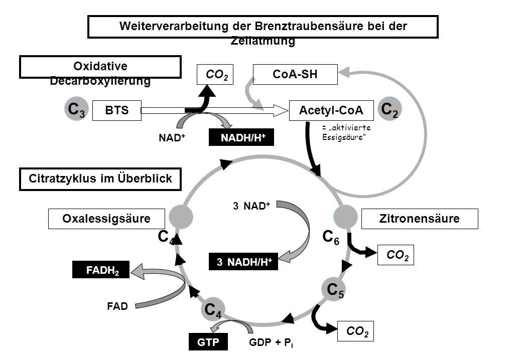 Weiterverarbeitung der Brenztraubensäure bei der Zellatmung Oxidative Decarboxylierung Citratzyklus im Überblick BTSAcetyl-CoA OxalessigsäureZitronens