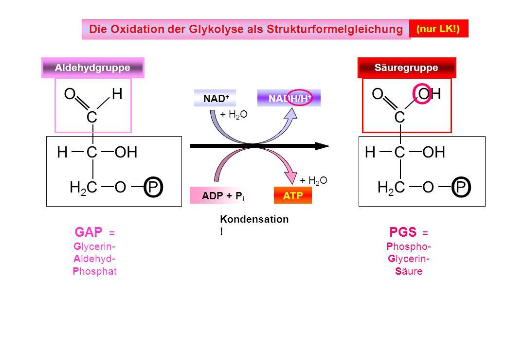 ATP ADP + P i NAD + NADH/H + Die Oxidation der Glykolyse als Strukturformelgleichung (nur LK!) C C C C C C H H H H2 H2 H2 H2 O O P OOH O O Aldehydgrup