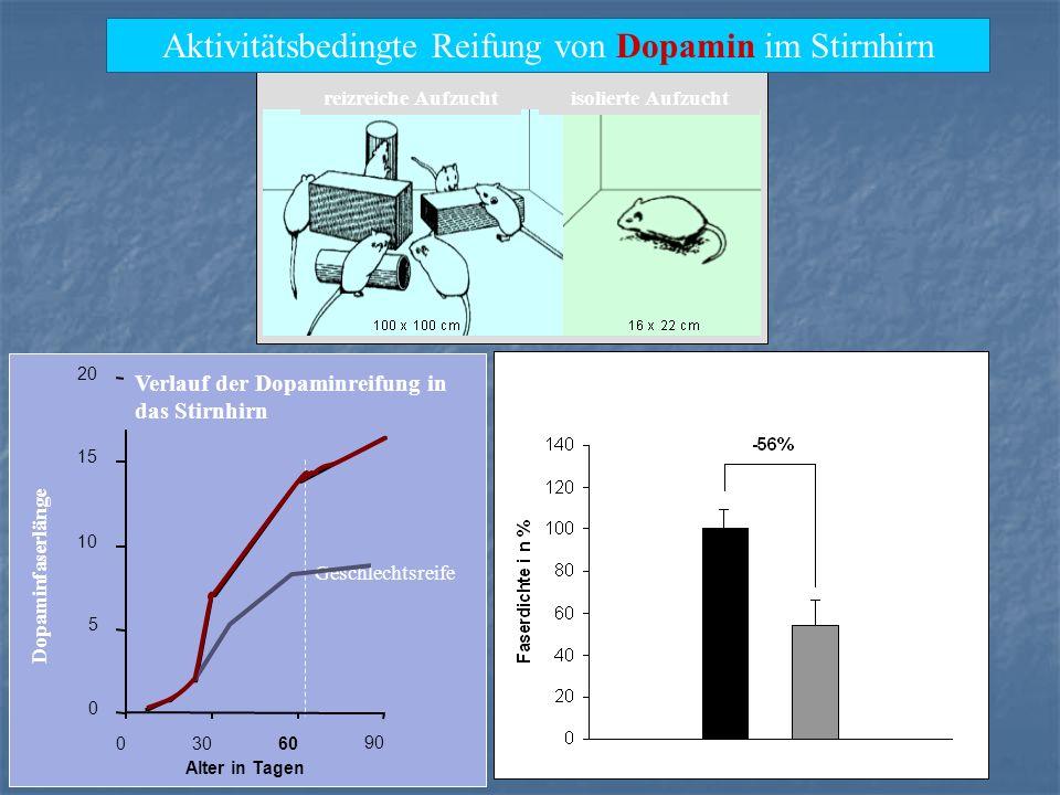 Aktivitätsbedingte Reifung von Dopamin im Stirnhirn reizreiche Aufzuchtisolierte Aufzucht 0 5 10 15 20 03060 90 Alter in Tagen Dopaminfaserlänge Verla