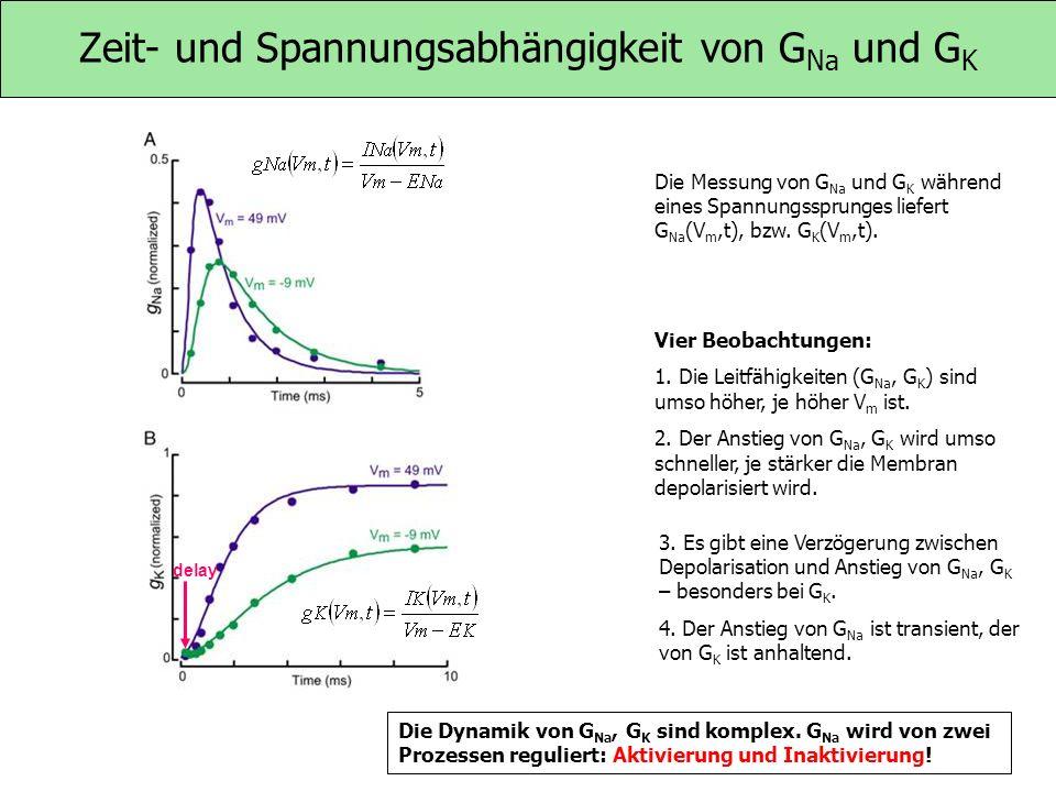 Zeit- und Spannungsabhängigkeit von G Na und G K Die Messung von G Na und G K während eines Spannungssprunges liefert G Na (V m,t), bzw. G K (V m,t).