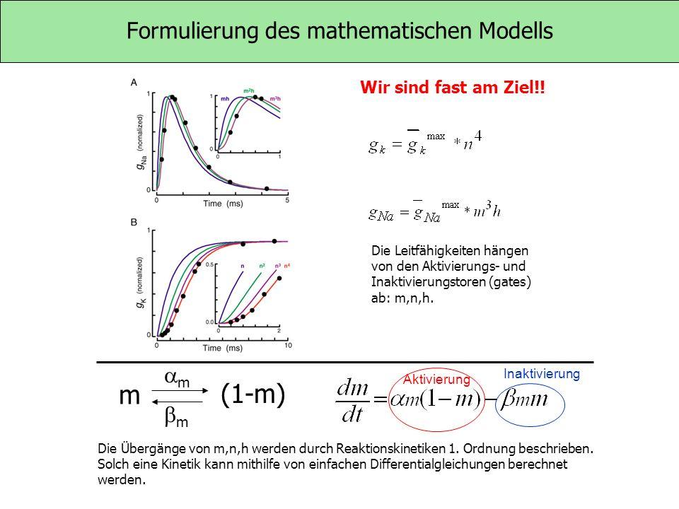 Formulierung des mathematischen Modells Wir sind fast am Ziel!! Die Leitfähigkeiten hängen von den Aktivierungs- und Inaktivierungstoren (gates) ab: m