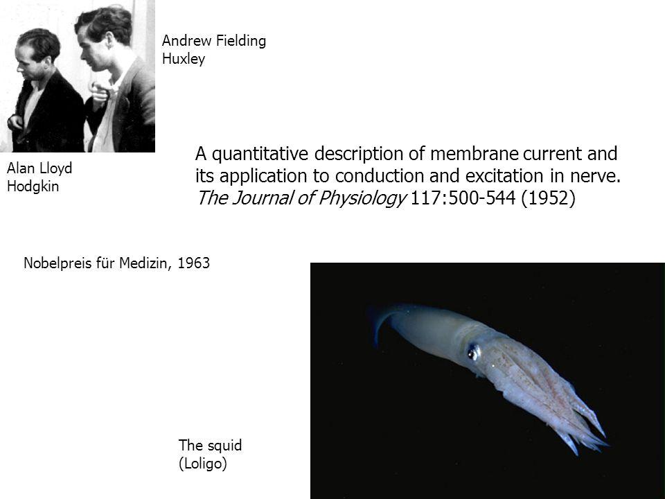 Alan Lloyd Hodgkin Andrew Fielding Huxley The squid (Loligo) A quantitative description of membrane current and its application to conduction and exci