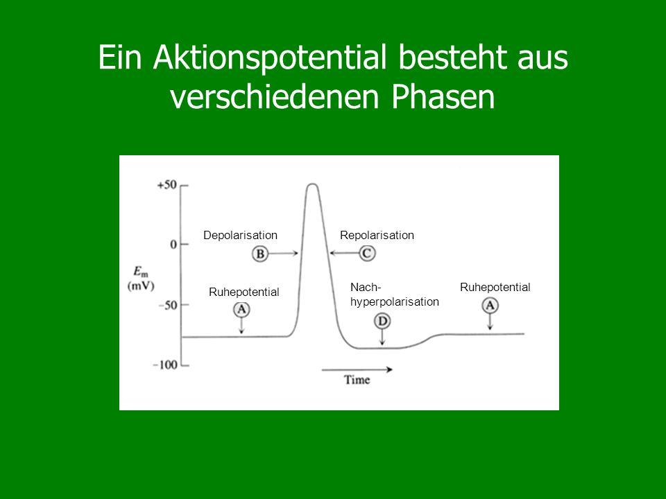Das Modell von Hodgkin and Huxley Ereignisse während eines Aktionspotentials: Beim Ruhepotential sind die Na + -Kanäle geschlossen (nicht inactiviert, nicht activiert) Nach Depolarisation öffnen sich die Na + - Kanäle schnell, G Na ist erhöht Die Membran depolarisiert weiter Langsamer öffnen sich K + -Kanäle, G K steigt Na + -Kanäle schliessen sich (inactivieren) K + -Strom dominiert den Gesamtstrom Das Membranpotential repolarisiert Die K + -Kanäle bleiben noch geöffnt bei geringer G Na Nachhyperpolarisation (V m nahe E K ) Solange noch Na + -Kanäle inaktiviert sind: Refraktärzeit (Schwelle erhöht)