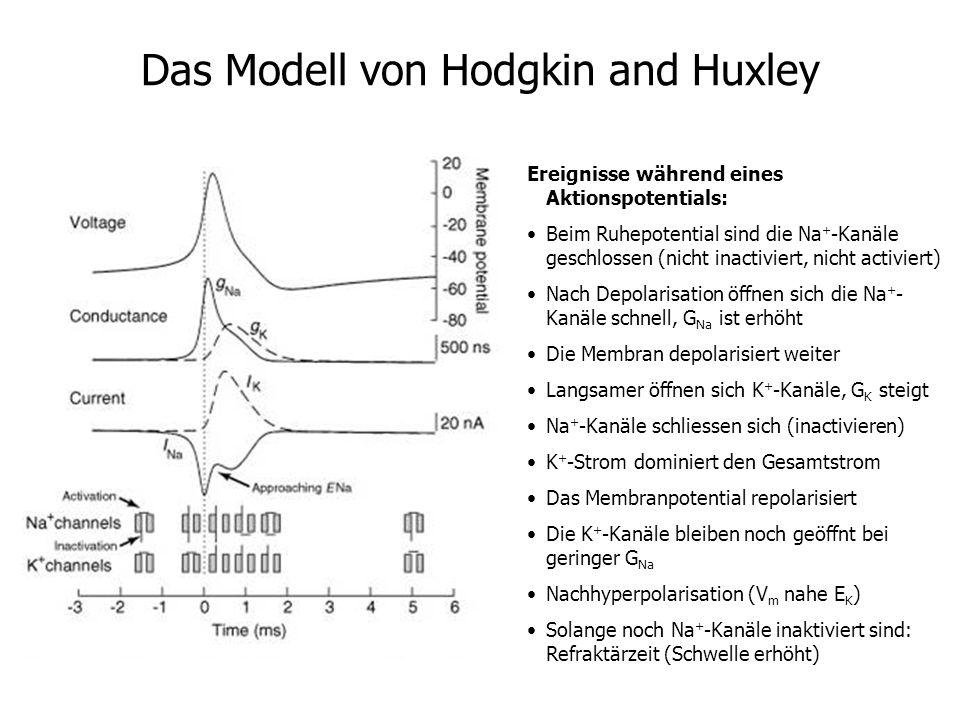 Das Modell von Hodgkin and Huxley Ereignisse während eines Aktionspotentials: Beim Ruhepotential sind die Na + -Kanäle geschlossen (nicht inactiviert,