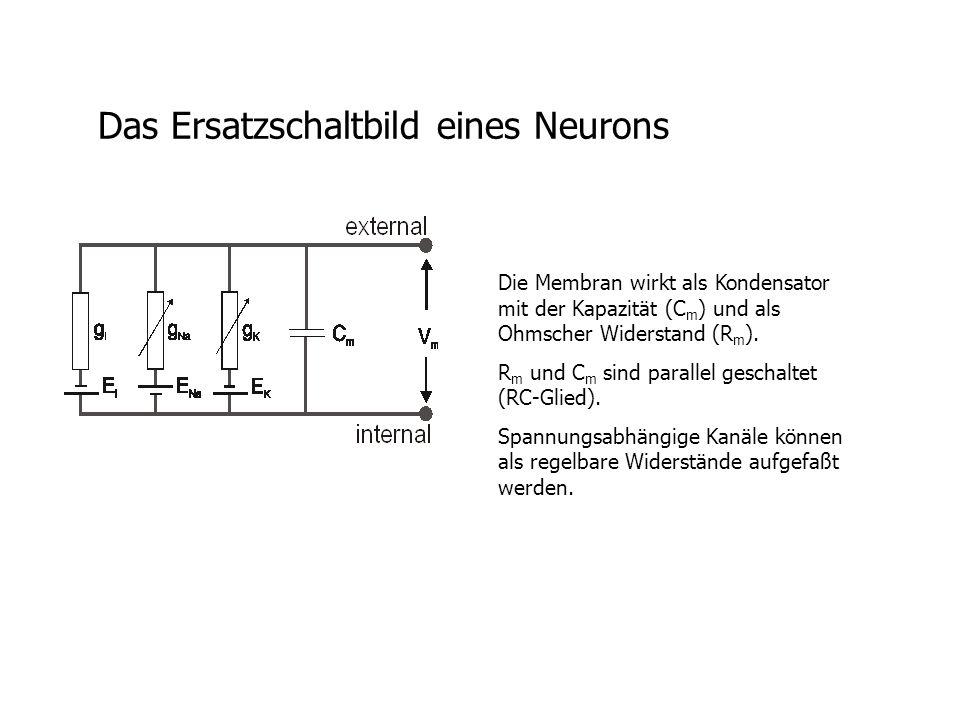 Das Ersatzschaltbild eines Neurons Die Membran wirkt als Kondensator mit der Kapazität (C m ) und als Ohmscher Widerstand (R m ).