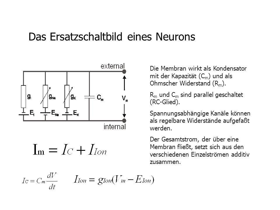 Das Ersatzschaltbild eines Neurons Die Membran wirkt als Kondensator mit der Kapazität (C m ) und als Ohmscher Widerstand (R m ). R m und C m sind par