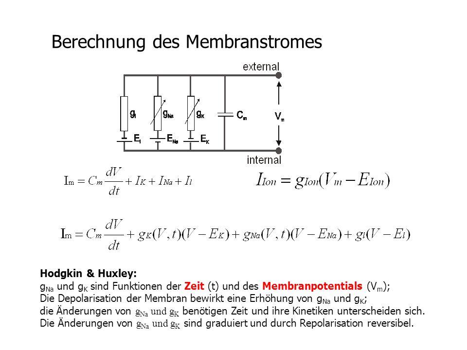 Berechnung des Membranstromes Hodgkin & Huxley: g Na und g K sind Funktionen der Zeit (t) und des Membranpotentials (V m ); Die Depolarisation der Mem