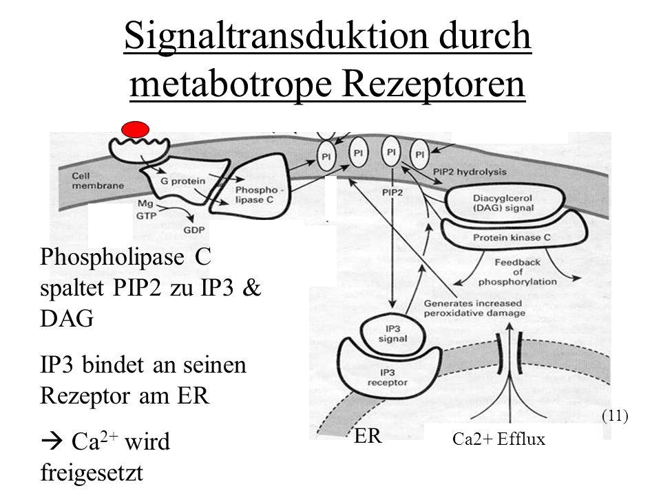 Ca2+ Efflux Signaltransduktion durch metabotrope Rezeptoren Phospholipase C spaltet PIP2 zu IP3 & DAG IP3 bindet an seinen Rezeptor am ER Ca 2+ wird f