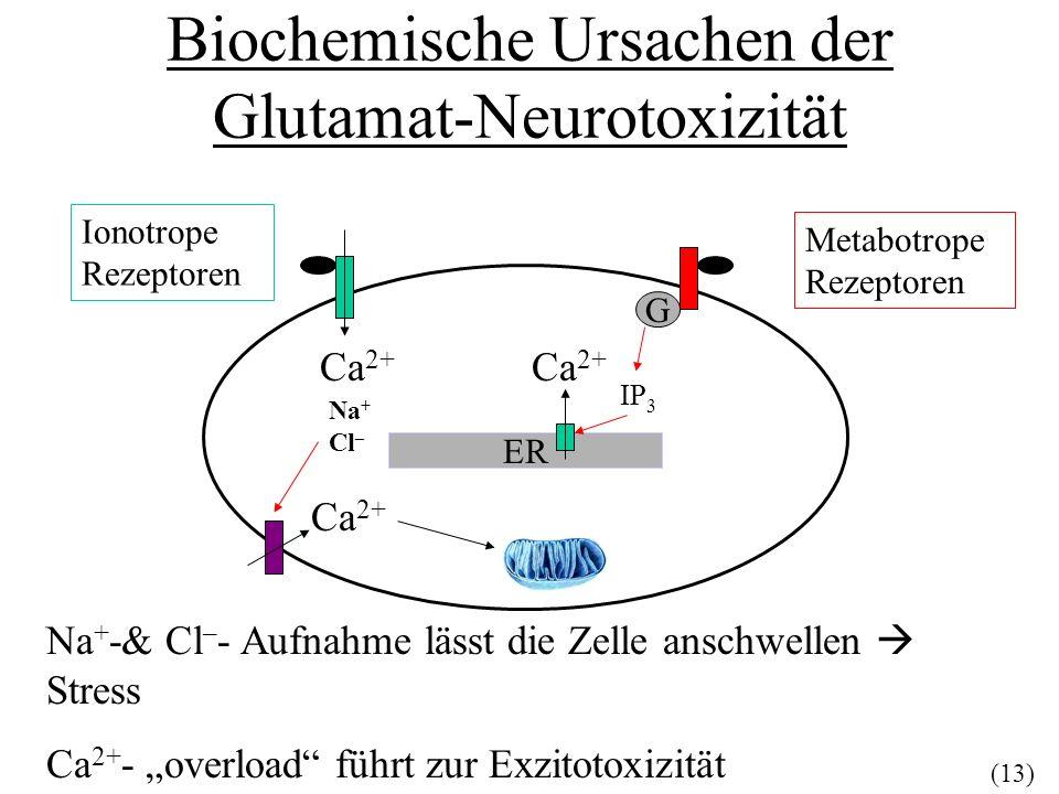 Biochemische Ursachen der Glutamat-Neurotoxizität Ionotrope Rezeptoren Metabotrope Rezeptoren G ER IP 3 Ca 2+ Na + Cl – Ca 2+ Na + -& Cl – - Aufnahme