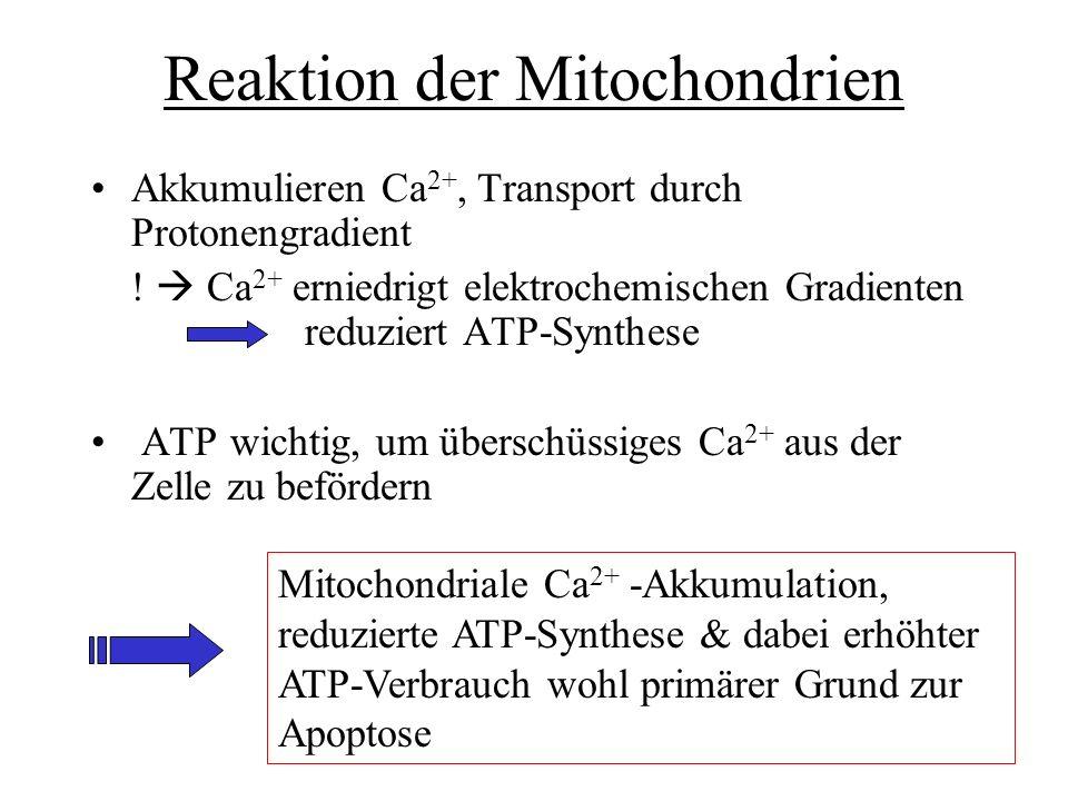 Reaktion der Mitochondrien Akkumulieren Ca 2+, Transport durch Protonengradient ! Ca 2+ erniedrigt elektrochemischen Gradienten reduziert ATP-Synthese