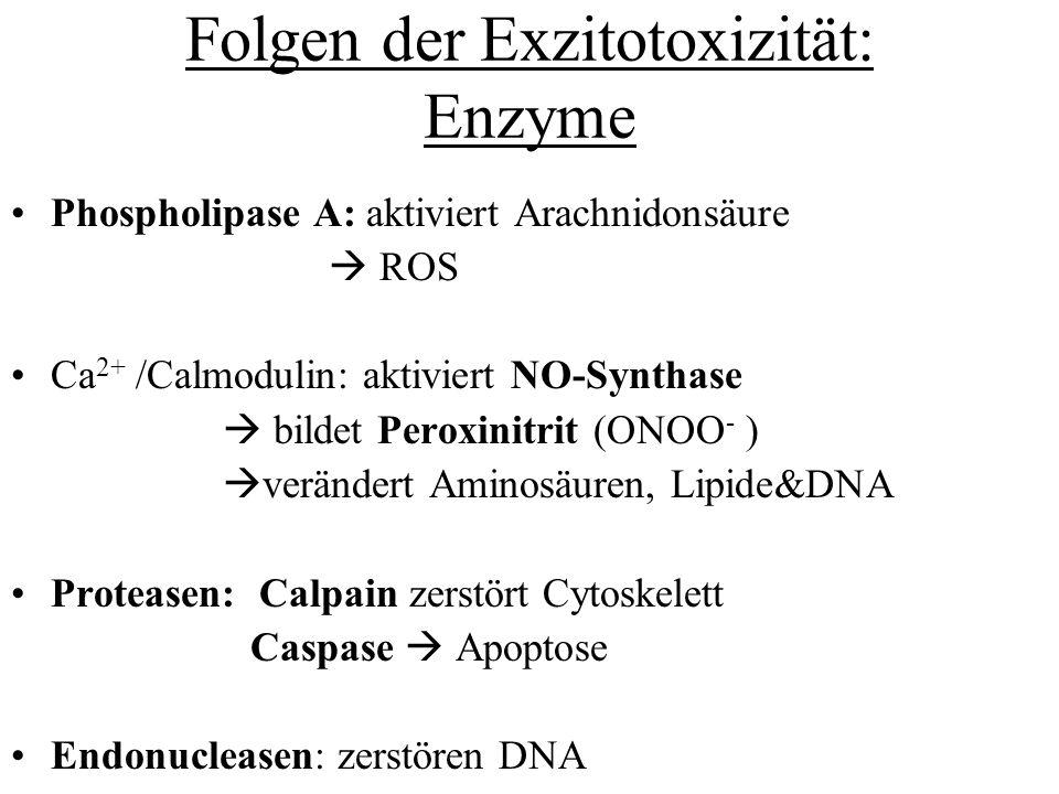 Folgen der Exzitotoxizität: Enzyme Phospholipase A: aktiviert Arachnidonsäure ROS Ca 2+ /Calmodulin: aktiviert NO-Synthase bildet Peroxinitrit (ONOO -