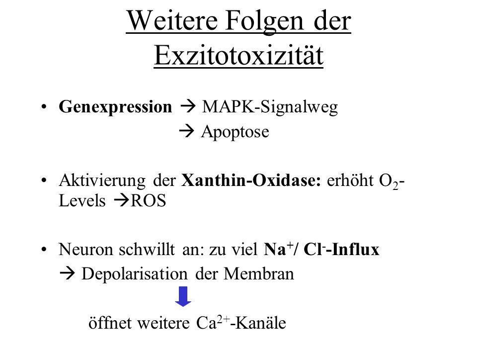 Weitere Folgen der Exzitotoxizität Genexpression MAPK-Signalweg Apoptose Aktivierung der Xanthin-Oxidase: erhöht O 2 - Levels ROS Neuron schwillt an: