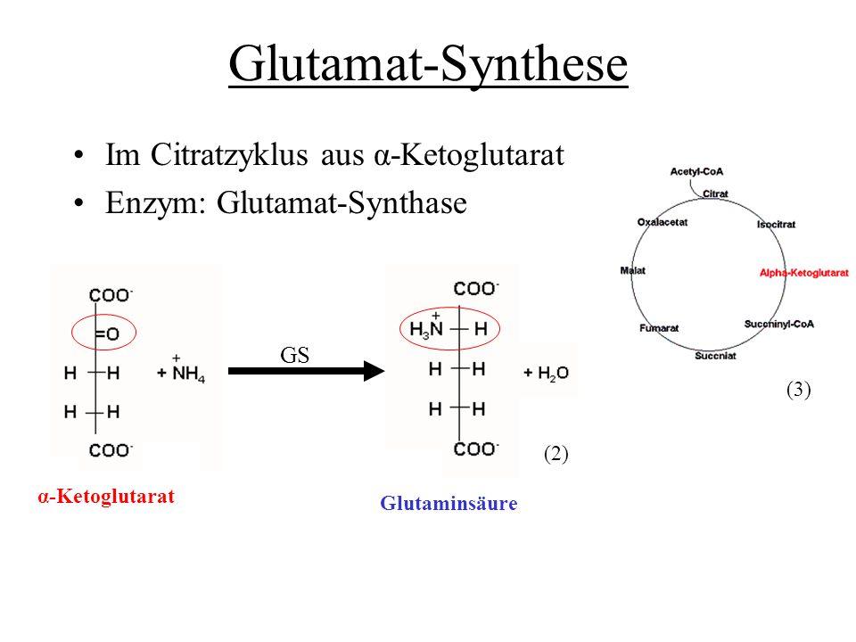 Glutamat-Synthese Im Citratzyklus aus α-Ketoglutarat Enzym: Glutamat-Synthase GS α-Ketoglutarat Glutaminsäure (2) (3)
