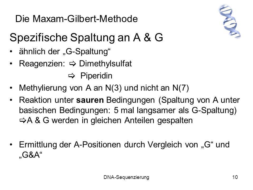 DNA-Sequenzierung10 Die Maxam-Gilbert-Methode Spezifische Spaltung an A & G ähnlich der G-Spaltung Reagenzien: Dimethylsulfat Piperidin Methylierung v