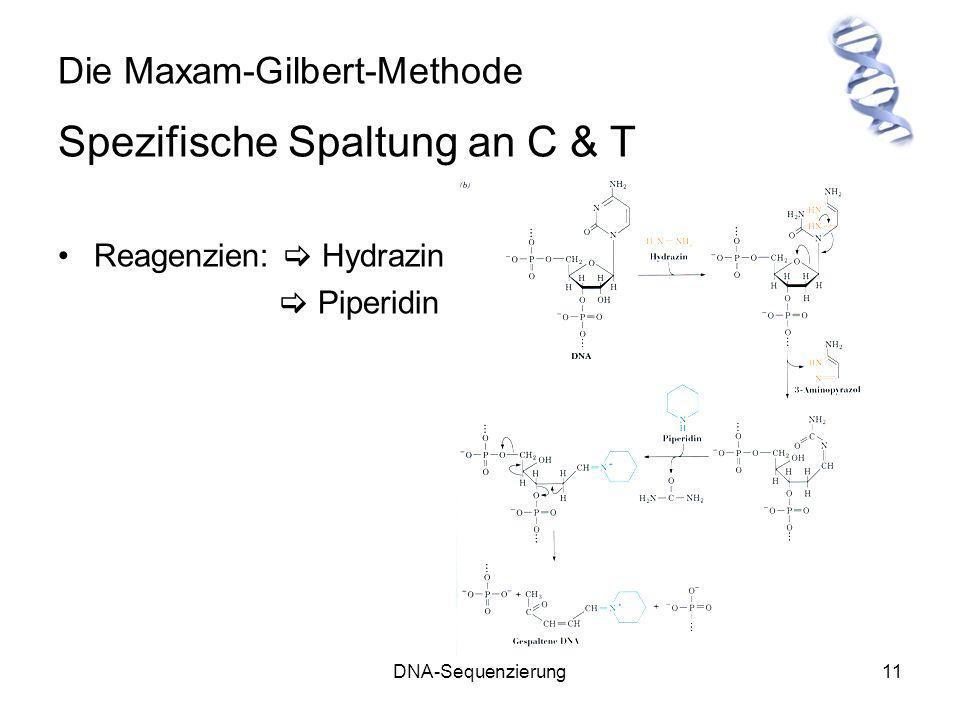 DNA-Sequenzierung11 Die Maxam-Gilbert-Methode Spezifische Spaltung an C & T Reagenzien: Hydrazin Piperidin