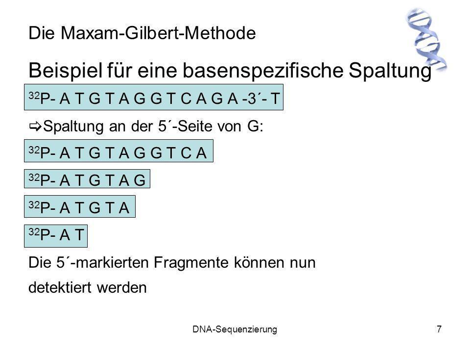 DNA-Sequenzierung7 Die Maxam-Gilbert-Methode Beispiel für eine basenspezifische Spaltung 32 P- A T G T A G G T C A G A -3´- T Spaltung an der 5´-Seite