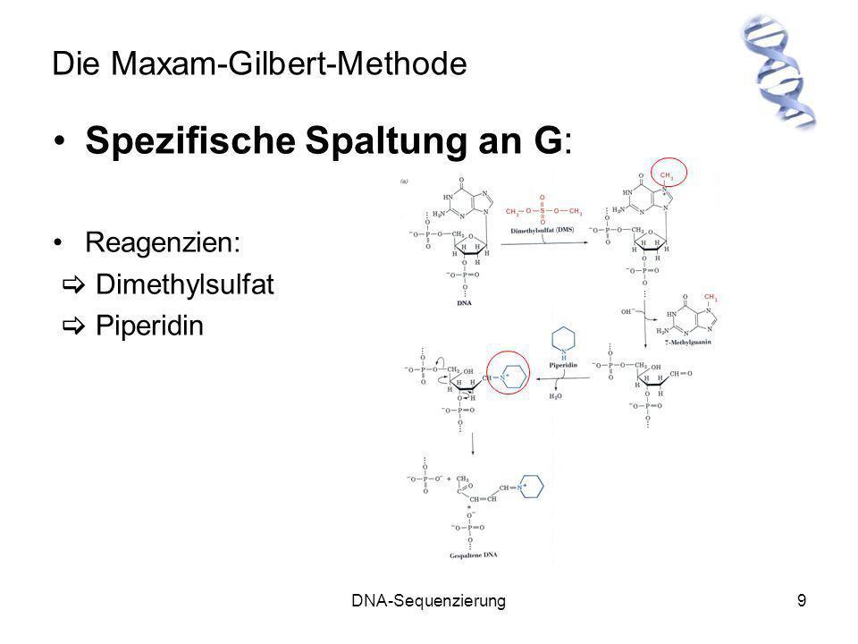 DNA-Sequenzierung10 Die Maxam-Gilbert-Methode Spezifische Spaltung an A & G ähnlich der G-Spaltung Reagenzien: Dimethylsulfat Piperidin Methylierung von A an N(3) und nicht an N(7) Reaktion unter sauren Bedingungen (Spaltung von A unter basischen Bedingungen: 5 mal langsamer als G-Spaltung) A & G werden in gleichen Anteilen gespalten Ermittlung der A-Positionen durch Vergleich von G und G&A