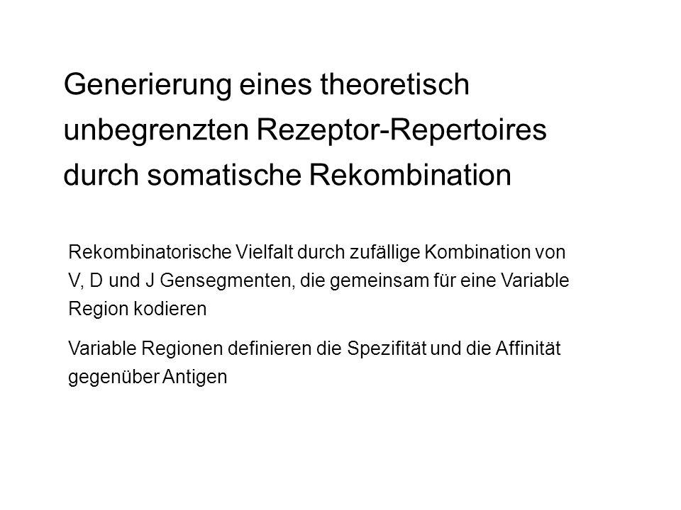 Generierung eines theoretisch unbegrenzten Rezeptor-Repertoires durch somatische Rekombination Rekombinatorische Vielfalt durch zufällige Kombination