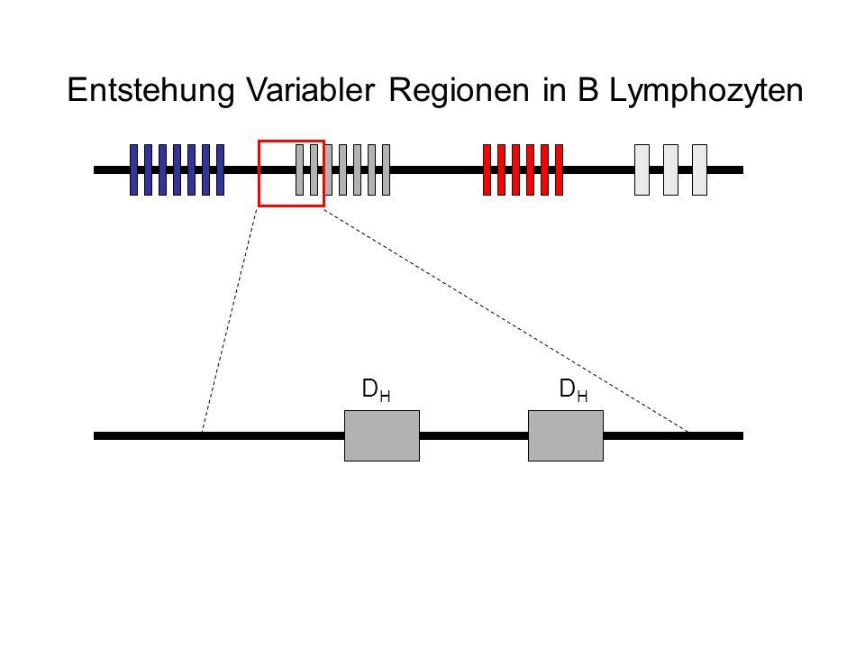 D H D H Entstehung Variabler Regionen in B Lymphozyten