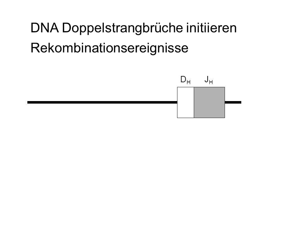 DNA Doppelstrangbrüche initiieren Rekombinationsereignisse D H J H