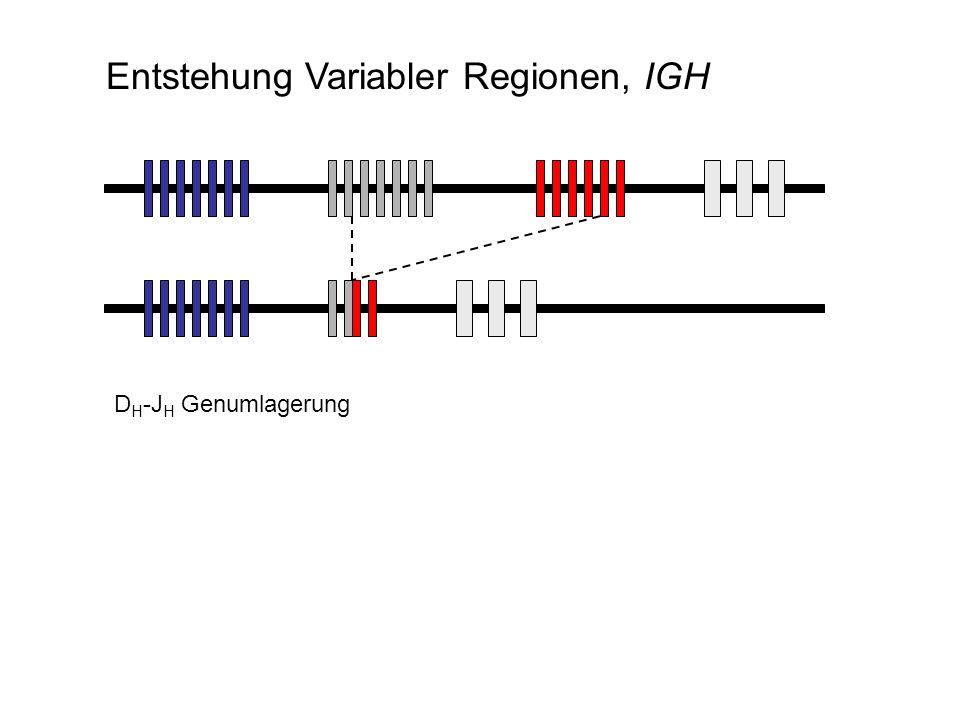 D H -J H Genumlagerung Entstehung Variabler Regionen, IGH