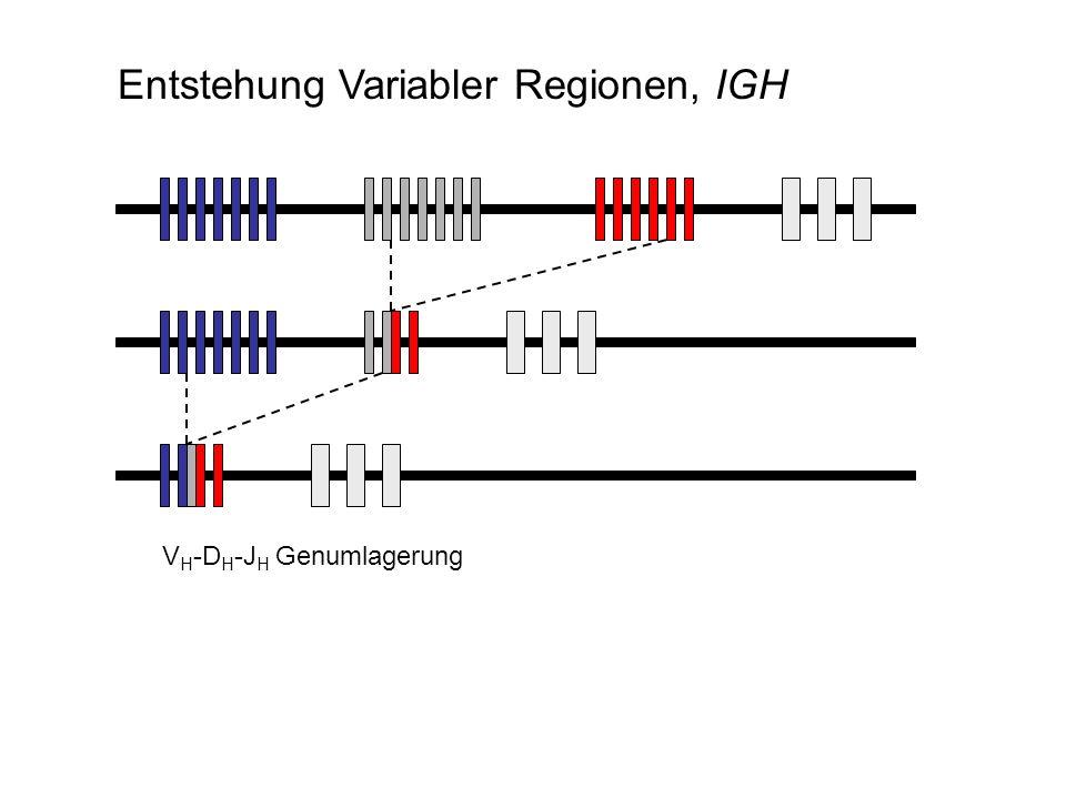 V H -D H -J H Genumlagerung Entstehung Variabler Regionen, IGH