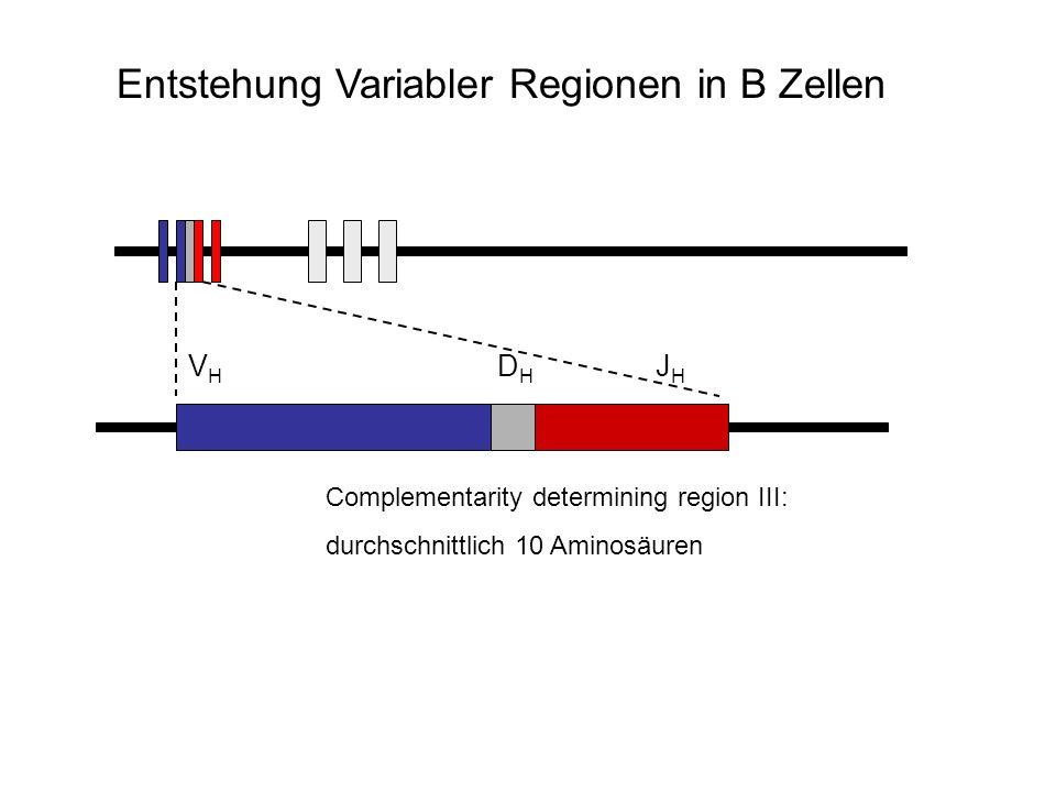 V H D H J H Complementarity determining region III: durchschnittlich 10 Aminosäuren Entstehung Variabler Regionen in B Zellen