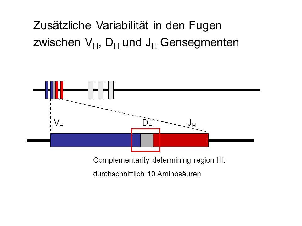 V H D H J H Complementarity determining region III: durchschnittlich 10 Aminosäuren Zusätzliche Variabilität in den Fugen zwischen V H, D H und J H Ge