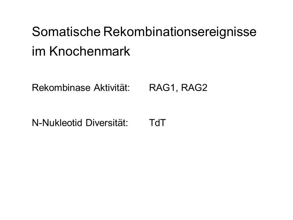 Somatische Rekombinationsereignisse im Knochenmark Rekombinase Aktivität: RAG1, RAG2 N-Nukleotid Diversität:TdT