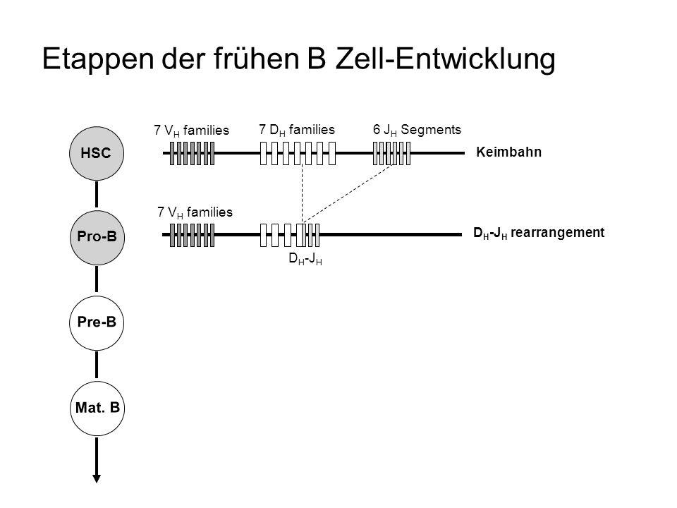 HSC Pro-B Pre-B Mat. B Etappen der frühen B Zell-Entwicklung Keimbahn D H -J H rearrangement 7 D H families 7 V H families 6 J H Segments D H -J H 7 V