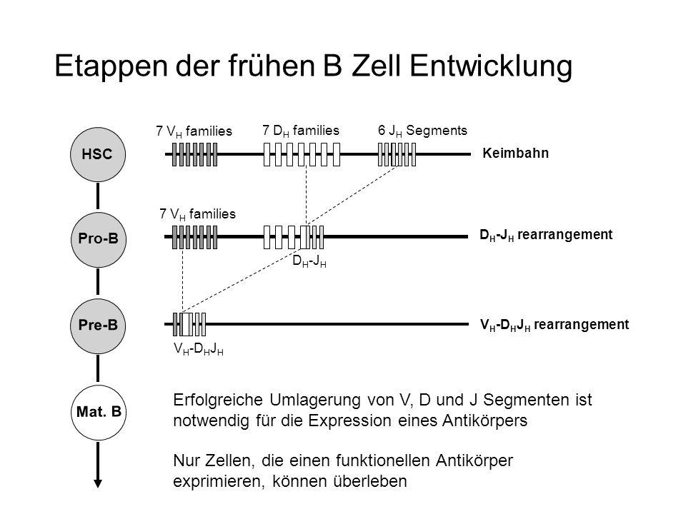 Keimbahn D H -J H rearrangement V H -D H J H rearrangement 7 D H families 7 V H families 6 J H Segments D H -J H 7 V H families V H -D H J H HSC Pro-B