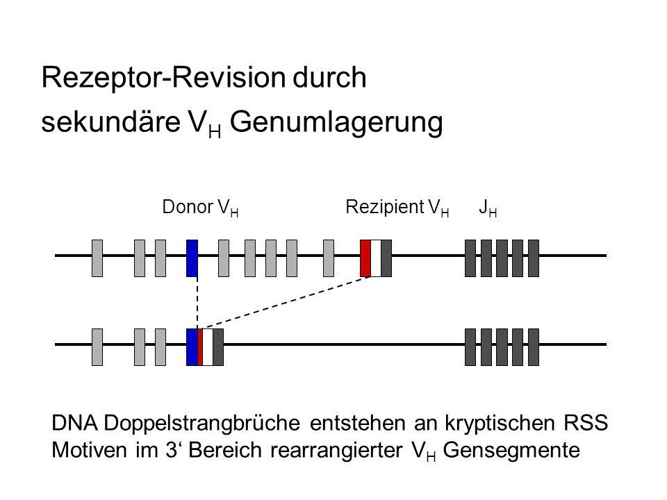 Rezeptor-Revision durch sekundäre V H Genumlagerung Donor V H Rezipient V H J H DNA Doppelstrangbrüche entstehen an kryptischen RSS Motiven im 3 Berei
