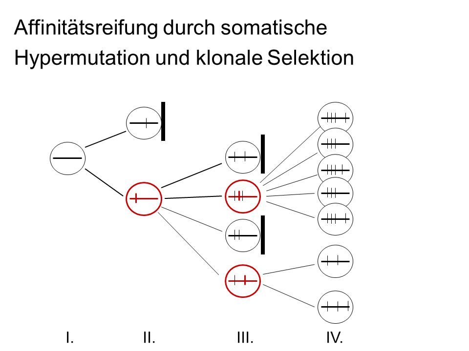 Affinitätsreifung durch somatische Hypermutation und klonale Selektion I. II. III. IV.
