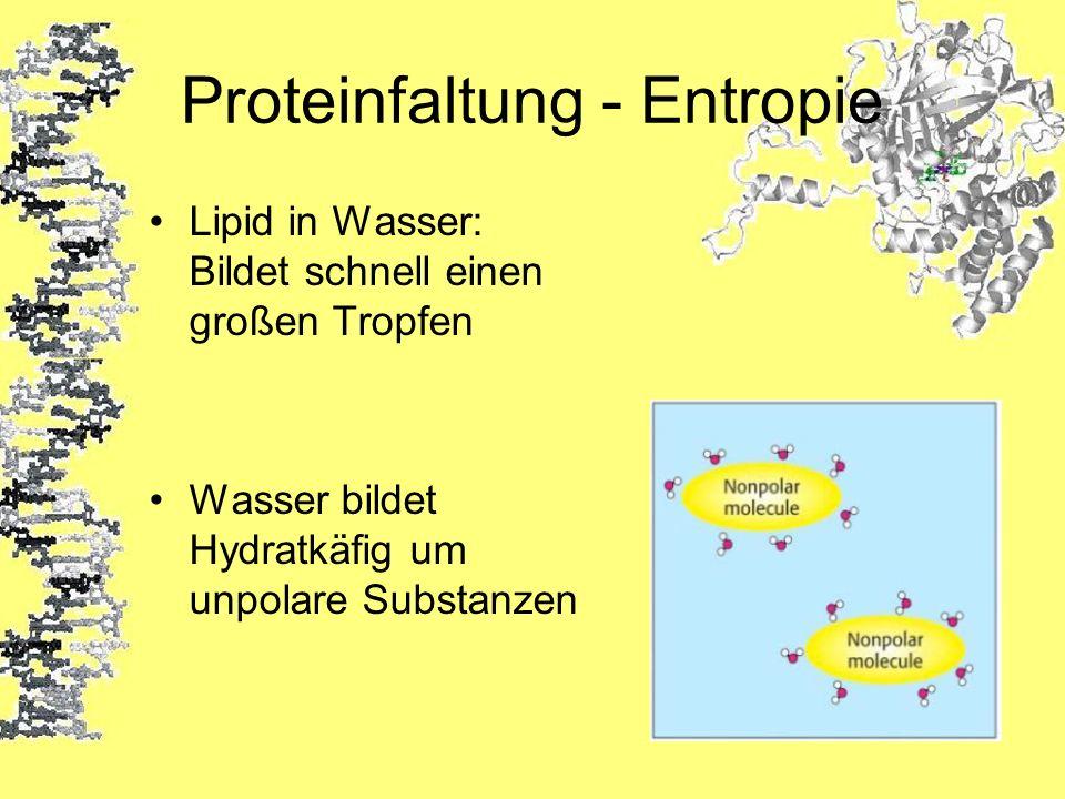 Proteinfaltung - Entropie Lipid in Wasser: Bildet schnell einen großen Tropfen Wasser bildet Hydratkäfig um unpolare Substanzen