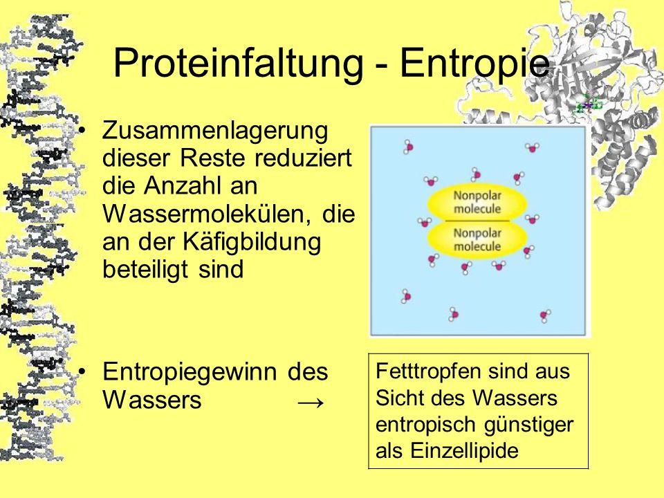 Proteinfaltung - Entropie Zusammenlagerung dieser Reste reduziert die Anzahl an Wassermolekülen, die an der Käfigbildung beteiligt sind Entropiegewinn