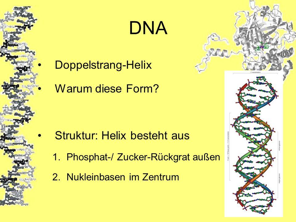 DNA Doppelstrang-Helix Warum diese Form? Struktur: Helix besteht aus 1.Phosphat-/ Zucker-Rückgrat außen 2.Nukleinbasen im Zentrum