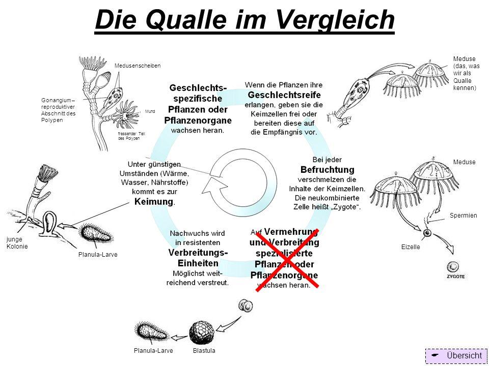 Die Qualle im Vergleich Übersicht Meduse Spermien Eizelle Planula-Larve Blastula Gonangium – reproduktiver Abschnitt des Polypen Medusenscheiben Mund