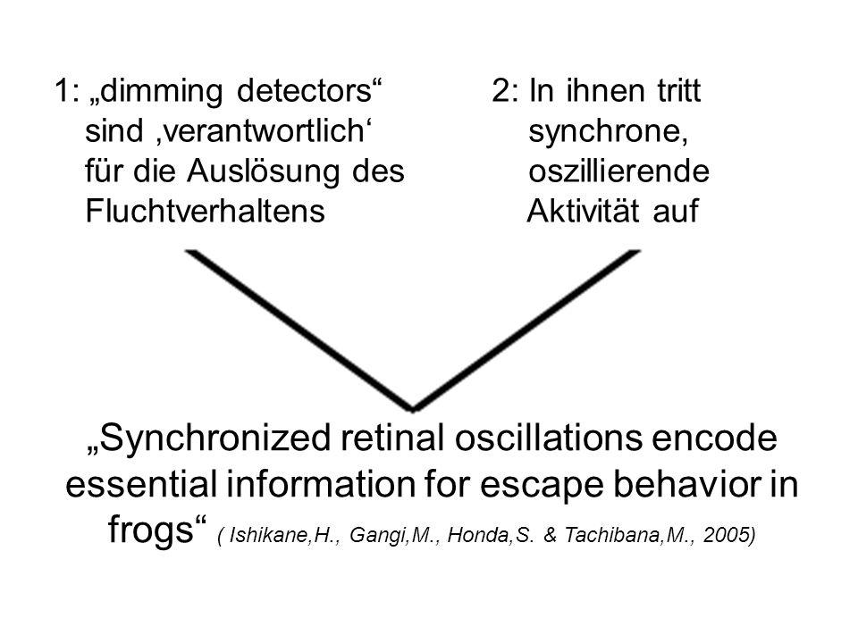1: dimming detectors sind verantwortlich für die Auslösung des Fluchtverhaltens 2: In ihnen tritt synchrone, oszillierende Aktivität auf Synchronized