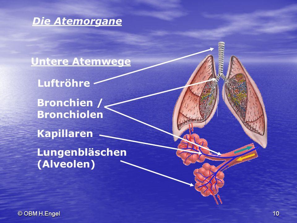 © OBM H.Engel10 Die Atemorgane Luftröhre Bronchien / Bronchiolen Kapillaren Lungenbläschen (Alveolen) Untere Atemwege