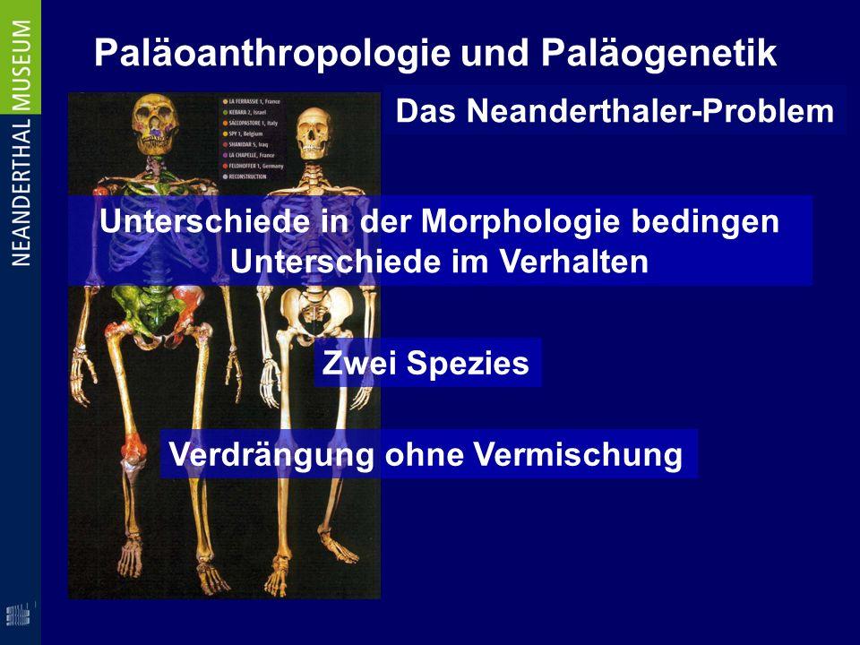 Paläoanthropologie und Paläogenetik Das Neanderthaler-Problem Unterschiede in der Morphologie bedingen Unterschiede im Verhalten Verdrängung ohne Verm