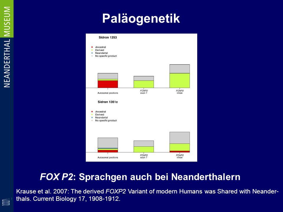 Paläogenetik FOX P2: Sprachgen auch bei Neanderthalern Krause et al. 2007: The derived FOXP2 Variant of modern Humans was Shared with Neander- thals.