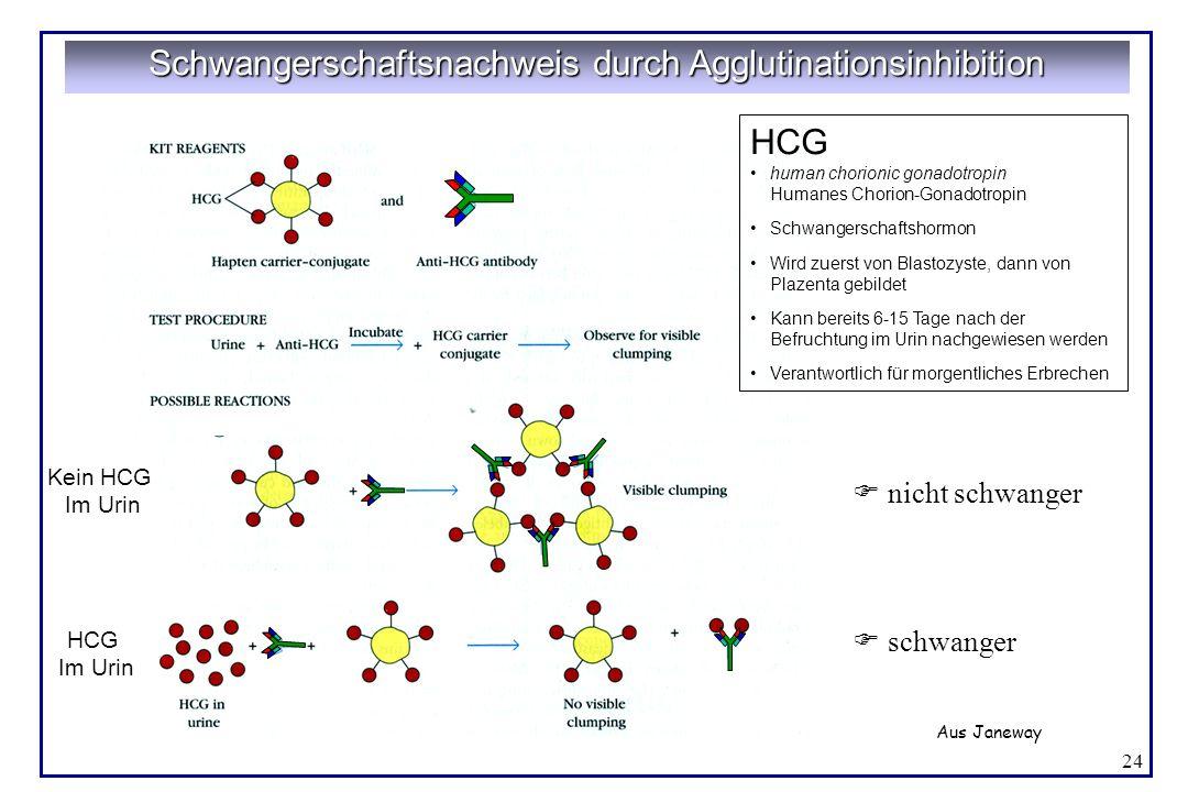 24 Schwangerschaftsnachweis durch Agglutinationsinhibition HCG human chorionic gonadotropin Humanes Chorion-Gonadotropin Schwangerschaftshormon Wird z
