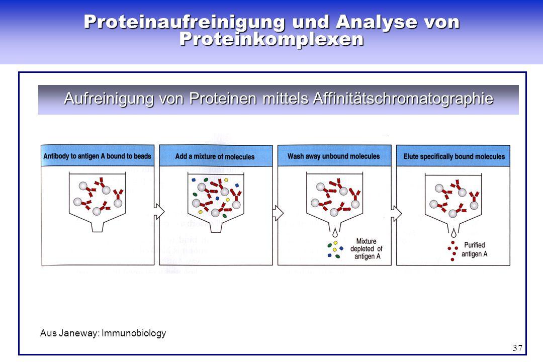 37 Proteinaufreinigung und Analyse von Proteinkomplexen Aufreinigung von Proteinen mittels Affinitätschromatographie Aus Janeway: Immunobiology