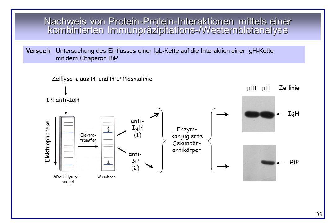 39 Nachweis von Protein-Protein-Interaktionen mittels einer kombinierten Immunpräzipitations-/Westernblotanalyse Versuch:Untersuchung des Einflusses e
