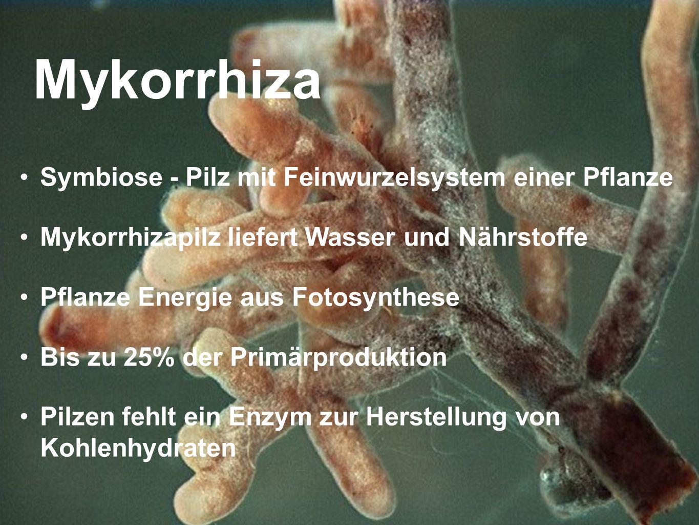 Mykorrhiza Symbiose - Pilz mit Feinwurzelsystem einer Pflanze Mykorrhizapilz liefert Wasser und Nährstoffe Pflanze Energie aus Fotosynthese Bis zu 25%