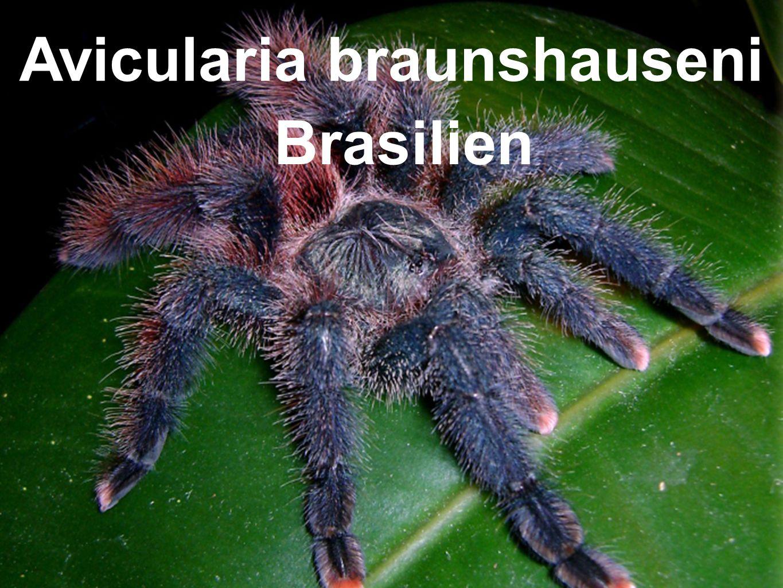 Avicularia braunshauseni Brasilien