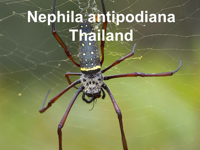 Nephila antipodiana Thailand