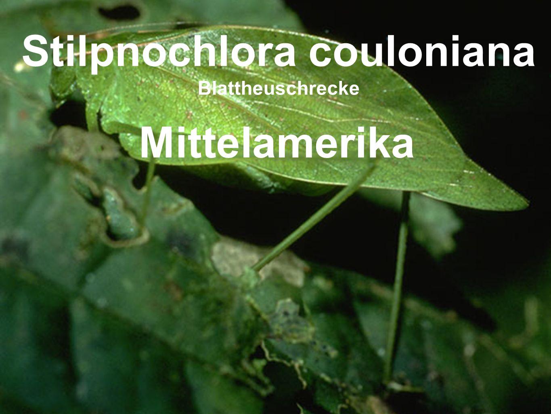 Stilpnochlora couloniana Blattheuschrecke Mittelamerika